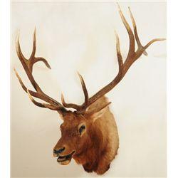 Trophy Elk Mount 7 X 7
