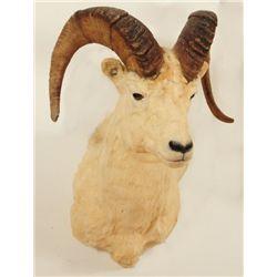 Big Horn Sheep Shoulder Mount