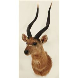 Bushbuck Shoulder Mount Jonas Brothers