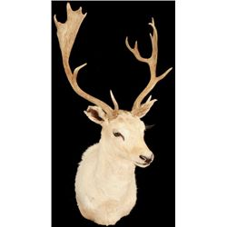 Fallow Deer Shoulder Mount Jonas Brothers