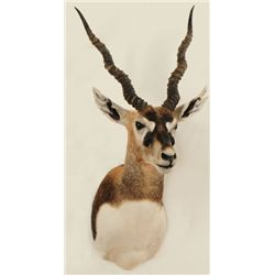 Black Buck Shoulder Mount