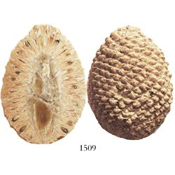 Fossilized pinecone (araucaria mirabilis), 160 million years old (Jurassic period), from Patagonia