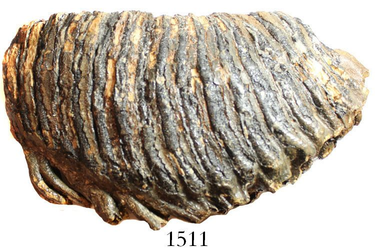 Large fossil woolly mammoth tooth (approx  10,000 to 100,000 years old)  from the North Sea  3222 gr