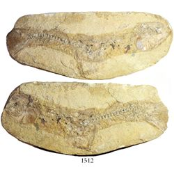 Fossil fish in matrix (both halves) from Brazil, probably Santana formation (approx. 100 million yea