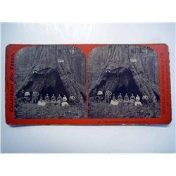 Stereoscope Card, Calaveras Big Trees.