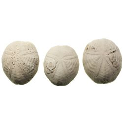 Lot of 3 palm-sized sea urchin fossils, approx. 20-30 million years old.