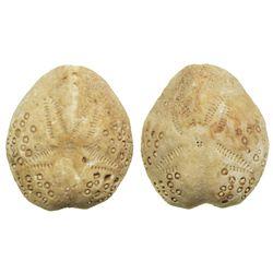 Lot of 2 tiny sea urchin fossils (irregular echinoids, species Lovenia forbesi), from Beaumaris, Vic