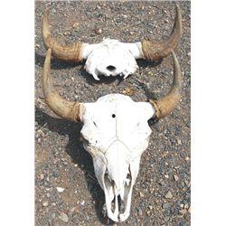 2 buffalo skulls