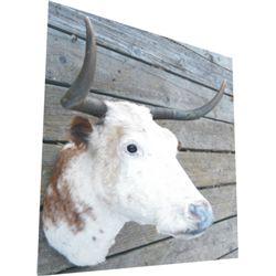 mounted cow head, nice horns