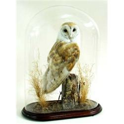 A FINE STUFFED BARN OWL perched a post with barbed wire and dry grass, under glass dome with mahogan