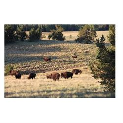 5-day American bison hunt for one hunter and one non-hunter in New Mexico - includes trophy fee