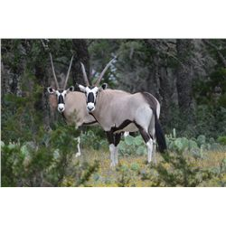 3-day gemsbok and wildebeest hunt for one hunter and one non-hunter in Junction, Texas - includes tr