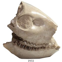 Mammal skull, Oreodont, approx. 30 to 35 million years old (Tertiary period, Oligocene epoch), proba