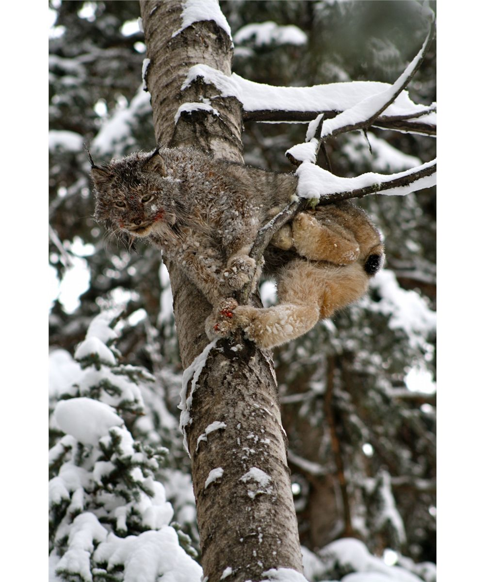 hunting lynx Archives - HuntingAgent.com |Lynx Hunting With Hounds
