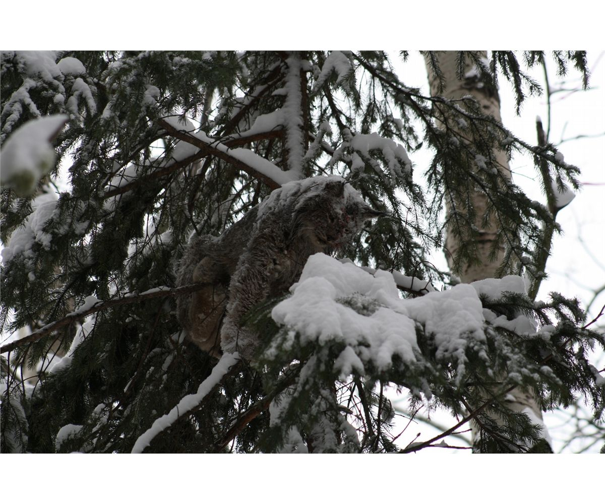 6-DAY WINTER LYNX HUNT WITH HOUNDS FOR 1 HUNTER |Lynx Hunting With Hounds
