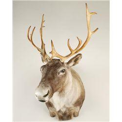 Woodland Caribou from Newfoundland