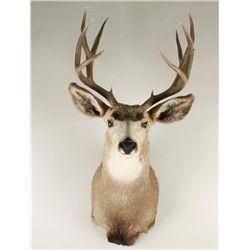 Deer Mount from Montana