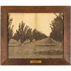 CA,San Jose-Santa Clara County,Santa Clara Valley Orchard Photograph