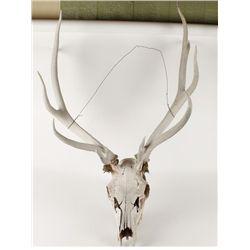 Elk Skull Head