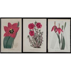 3 Antique Botanical Prints Red Flowers 1891-1920s