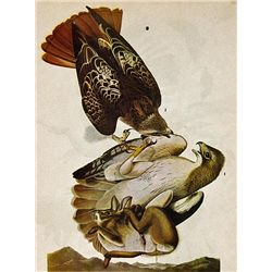 ~ RED TAILED HAWK ~ FRAMED MATTED PRINT ~ 14 X 11