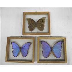 Collection 3 Giant Blue Morpho Didius Butterflies