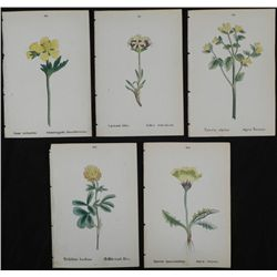 5 Antique Botanical Prints Yellow Flowers German