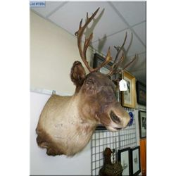 Hanging Head Mount Caribou tagged w/paper work