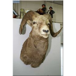 Head Mount Mountain Sheep w/full curl, tagged w/paper work