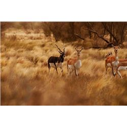5-day Argentina Blackbuck Hunt for Five Hunters