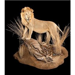 Taxidermy for a Lifesize African Lion Mount with Habitat
