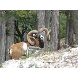 5-day Austria Gold-Medal Mouflon for Two Hunters and Two Observers
