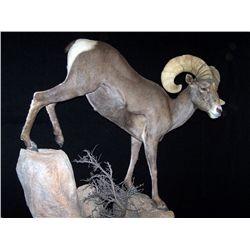 CUSTOM LIFE-SIZE SHEEP MOUNT