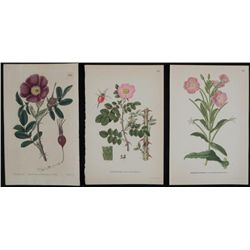 3 Antique Botanical Prints Pink & Purple Flowers 1819-