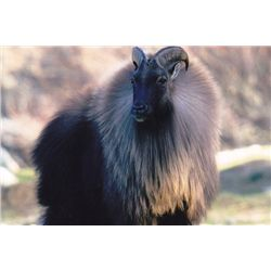 5-day New Zealand Tahr Hunt for Four Hunters and Four Observers