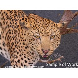 Taxidermy Work for a Life-Sized Leopard Mount