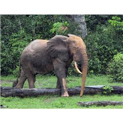 12-day Cameroon Elephant Hunt for One Hunter and One Observer