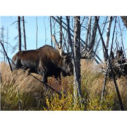 11-Day Moose Hunt for One Hunter in the Yukon Territory- Includes Trophy Fee