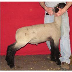 Johnson Show Lambs, Allen & Christy Johnson - Wether