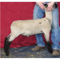 Fred & Sally Johnson Show Lambs - Wether