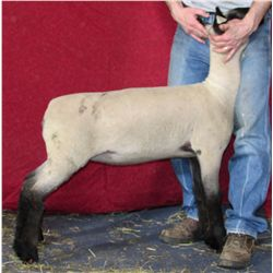Fred & Sally Johnson Show Lambs - Ewe