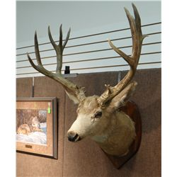 Mule deer mount, 6x6 non-typical
