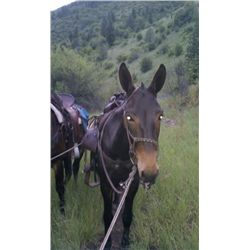 4 Joe-8 yr old black john mule