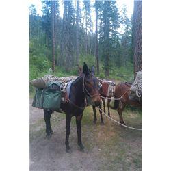 3 Pete- 8 yr old black john mule