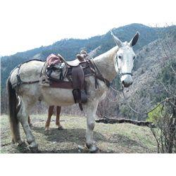 Jethro- 13 yr old grey john mule