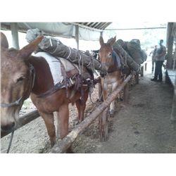 Kootnie- 16 yr old sorrel pack mule