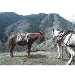 Hobo- 15 yr old sorrel john pack mule