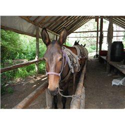 Bj-13 yr old black john pack mule