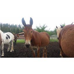 Copper-10 yr old sorrel molly pack mule