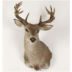 Coues Deer Buck Mount